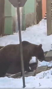 Read more about the article Moment Bear Tries To Rip Down Fence And Break Into Residence