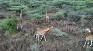 Mother And Calf Who Are The Last Of Nine Stranded Giraffes Are Rescued From Kenyan Island