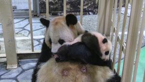 2-Month-Old Panda Cub Grows First Milk Teeth