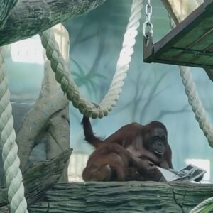 Read more about the article Orangutans Enjoy Fruit Breakfast While Reading Fashion Magazine At Moscow Zoo