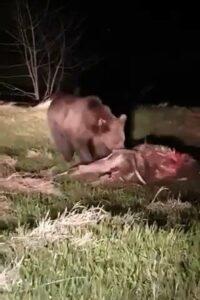 Viral: Bear Filmed Devouring Calf After Wreaking Havoc In Romanian Village For Over Week