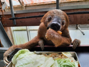 The Oldest Sloth In The World Celebrates Its Official 51st Birthday Today With A Guiness Record Listing