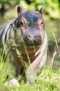 Read more about the article Cute Baby Hippo Makes First Trip Outside At Basel Zoo