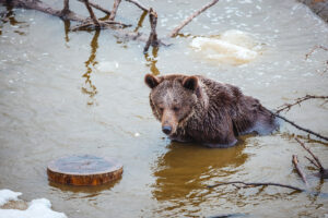 Worlds Loneliest Bear Wakes Up From First Ever Winter Sleep In New Alpine Paradise Home