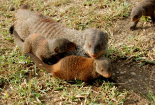 Adorable Mongoose Colony Creates Fairer Society As Parents Treat All Pups Equally Even If They Arent Their Own