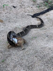 Read more about the article Snake Appears To Have Legs And Hop After Swallowing Large Frog