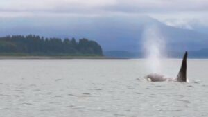 Read more about the article Moment Killer Whales Break Surface In Idyllic Alaskan Bay